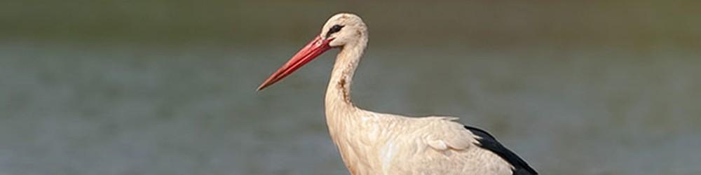 White-Stork04