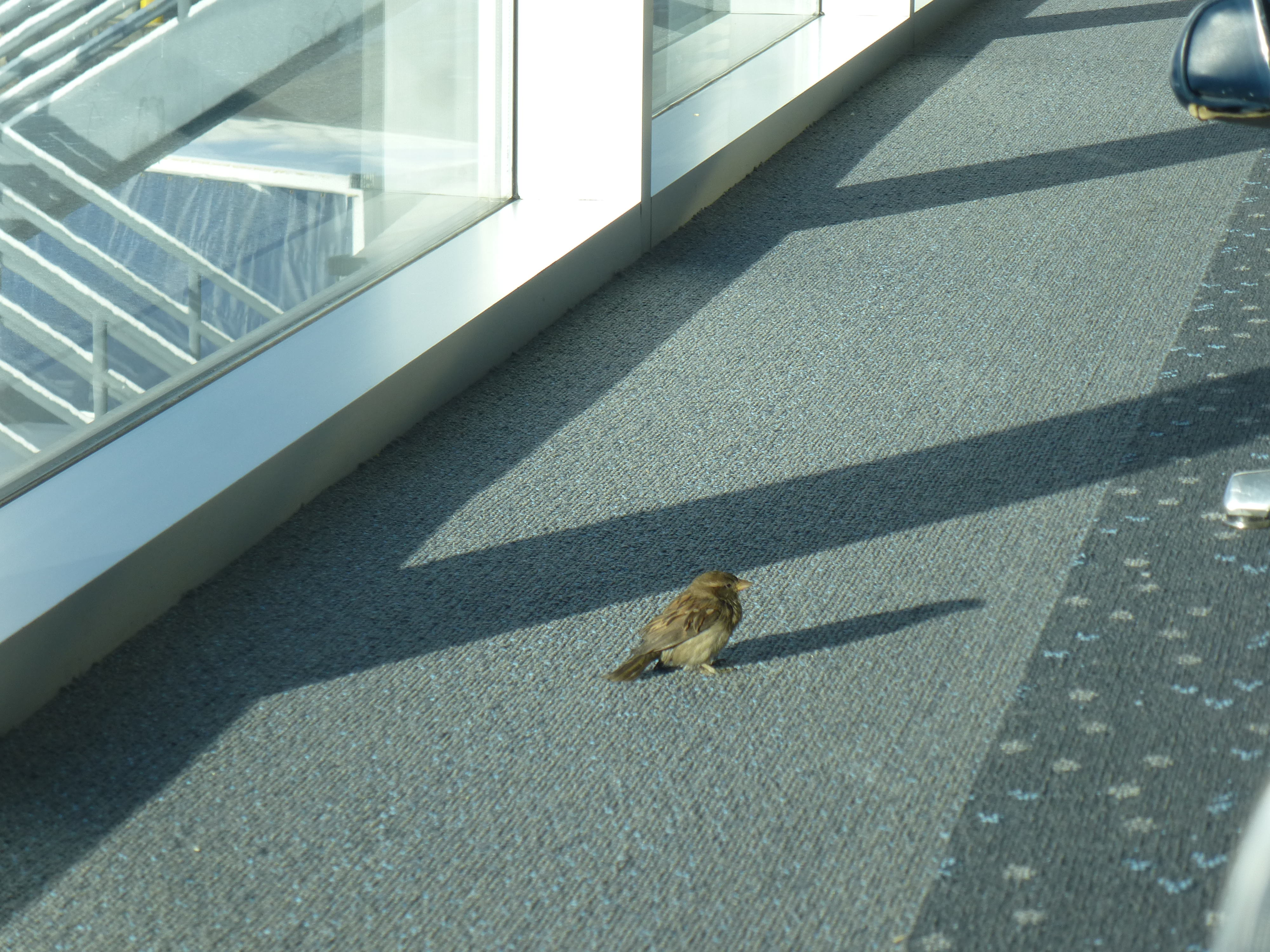 A sparrow hanging out in the Denver Airport.